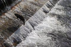 Salmões que navegam uma escada de peixes Foto de Stock