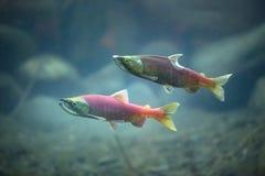 Salmões subaquáticos Fotografia de Stock Royalty Free