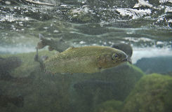 Salmo trutta Royalty Free Stock Images