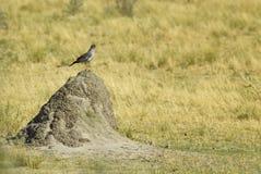 Salmodiare-astore pallido - canorus di Melierax fotografie stock libere da diritti