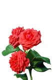 Salmom roses isolated. A isolated picture of three salmon colored roses with stem Royalty Free Stock Photography