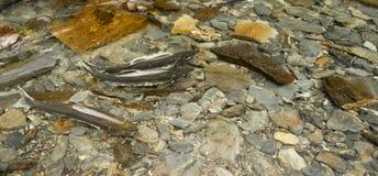 Salmon плавать вверх по отмелому потоку возглавил для Spwning - земель Стоковое Изображение