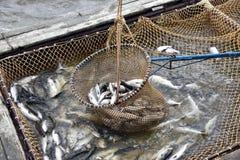 Salmon промысловый сезон стоковая фотография rf