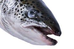 Salmon рыбы изолированные на белой предпосылке Свежие одичалые семги изолированные на белизне Свежие все семги Пустой космос для  Стоковые Изображения RF