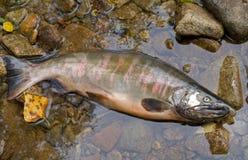 Salmon 1 Royalty Free Stock Photos