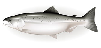 Salmon. Illustration of fish, isolated on the white Stock Photo