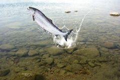 Salmon. Jumping out from water big salmon Royalty Free Stock Images