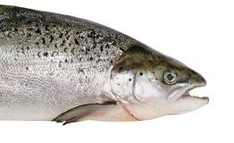 Salmon. Royalty Free Stock Photography