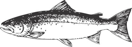 Salmon. Vector graphic illustration of a Salmon