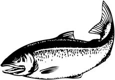Salmon stock illustration