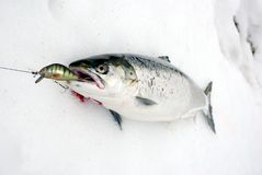 Salmon from bait Stock Images