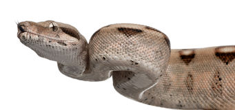 Salmon Boa constrictor, Boa constrictor Stock Images