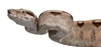 Salmon Boa constrictor, Boa constrictor Stock Images