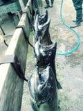 Salmon camp royalty free stock image