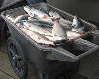 Salmon Catch Stock Images