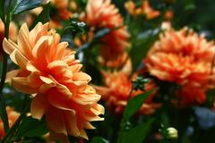 Salmon color of a flower bed. Flower bed flowers decorate dahlias with petals of salmon color royalty free stock photography