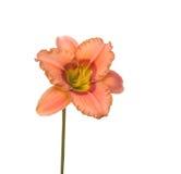Salmon-colored Daylily, Hemerocallis Stock Photos
