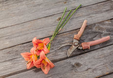 Salmon-colored Daylily (hemerocallis) and secateurs Stock Photos