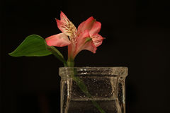 A salmon colored flower in a vase. Royalty Free Stock Images