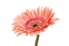 Salmon colored gerbera. Flower isolated against white Royalty Free Stock Image