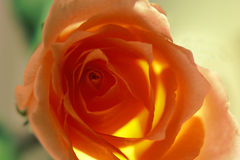 Salmon colored rose Royalty Free Stock Image