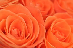 Salmon colored roses Royalty Free Stock Photography