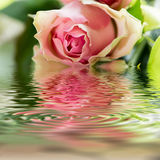 Salmon-colored roses Stock Photography