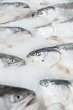 Salmon on cooled market display. Closeup shot of heads Royalty Free Stock Images