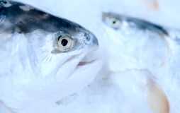 Salmon on cooled market display. Closeup shot of two heads Royalty Free Stock Images