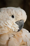Salmon-crested Cockatoo Stock Photos