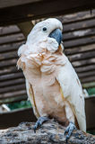 Salmon-Crested Cockatoo Royalty Free Stock Images