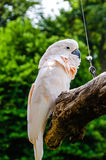 Salmon-Crested Cockatoo Royalty Free Stock Image