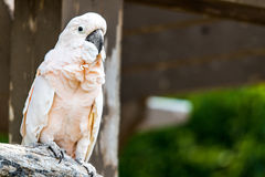 Salmon-Crested Cockatoo Stock Image