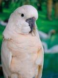 Salmon-crested Cockatoo (Cacatua moluccensis) Stock Image