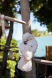 Salmon-crested cockatoo Cacatua moluccensis is endemic to the Se. Ram archipelago in eastern Indonesia stock photography