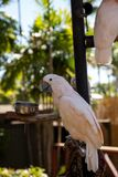 Salmon-crested cockatoo Cacatua moluccensis is endemic to the Se. Ram archipelago in eastern Indonesia royalty free stock photo