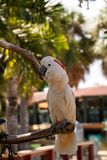 Salmon-crested cockatoo Cacatua moluccensis is endemic to the Se. Ram archipelago in eastern Indonesia royalty free stock photos