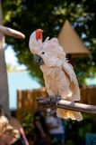 Salmon-crested cockatoo Cacatua moluccensis is endemic to the Se. Ram archipelago in eastern Indonesia stock images