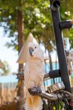 Salmon-crested cockatoo Cacatua moluccensis is endemic to the Se. Ram archipelago in eastern Indonesia stock photo