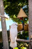 Salmon-crested cockatoo Cacatua moluccensis is endemic to the Se. Ram archipelago in eastern Indonesia stock photos