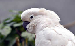 Salmon-crested Cockatoo Royalty Free Stock Photo
