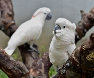 Salmon-crested Cockatoo Royalty Free Stock Photography