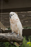 Salmon Crested Cockatoo. Young Salmon Crested Cockatoo Sitting on a Tree Perch at the Omaha Nebraska Zoo exibit of birds Stock Images