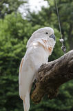 Salmon Crested Cockatoo. Young Salmon Crested Cockatoo Sitting on a Tree Perch at the Omaha Nebraska Zoo exibit of birds Royalty Free Stock Photography