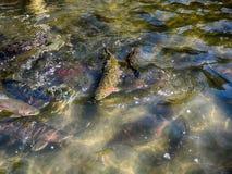 Salmon Farm, Tasmanien Stockbild