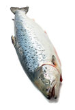 Salmon fish Royalty Free Stock Image