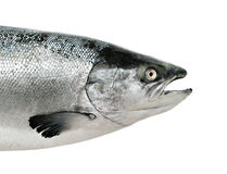 Salmon fish close up isolated. On white Royalty Free Stock Photo