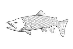 salmon fish illustration on white Stock Photo