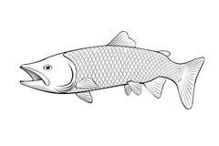 Salmon fish illustration on white. Black and white salmon fish illustration on white royalty free illustration