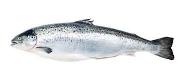 Salmon fish isolated on white Stock Photography